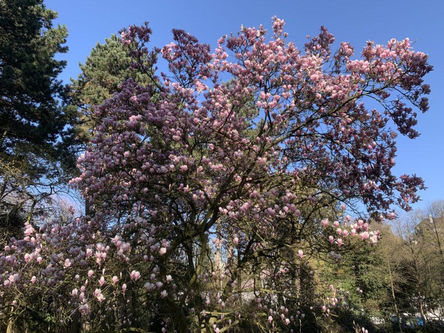 Magnolie im Wiesental