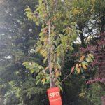 """Einheitsbuddeln Bochum am 03.10.2019: """"Unsere"""" SPD-Kirsche (Prunus avium 'Burlat' - Süßkirsche Burlat)"""
