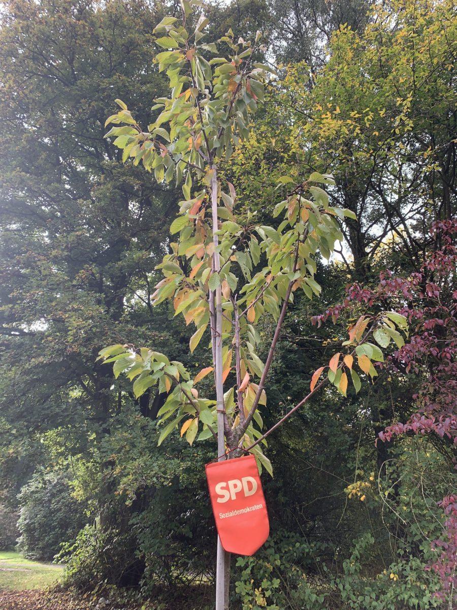 """Einheitsbuddeln Bochum am 04.10.2019: """"Unsere"""" SPD-Kirsche (Prunus avium 'Burlat' - Süßkirsche Burlat)"""
