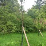 Kirschbaum - (Einheitsbuddeln: Obstwiese an der Feldmark)
