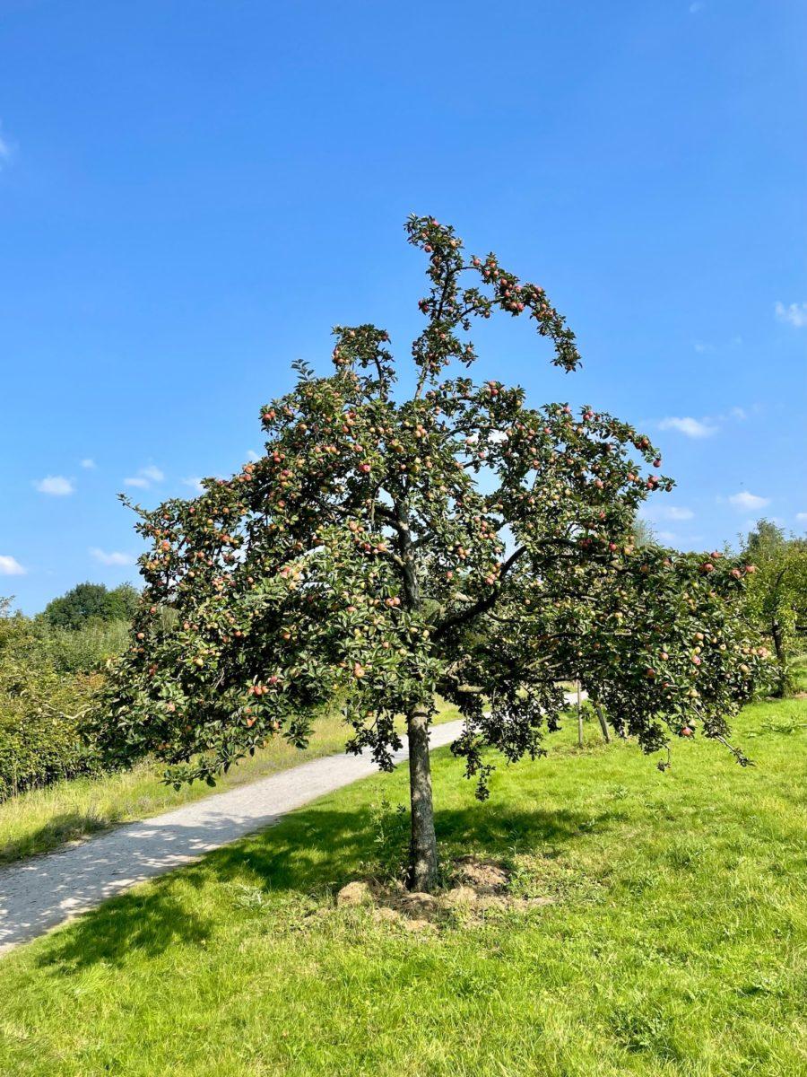 8. Langer Tag der Stadtnatur Bochum: Apfelbaum im KGV Kraut und Rüben in Hordel