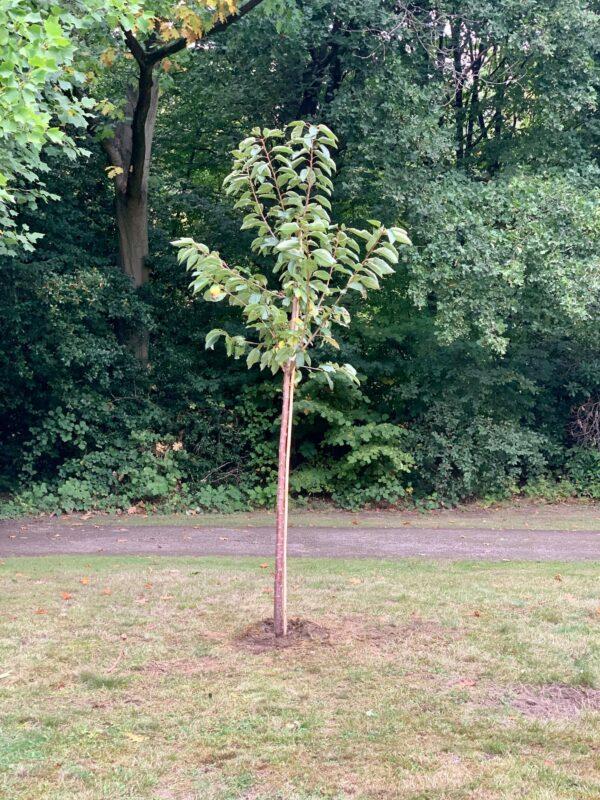 Einheitsbuddeln 2020: der von uns gepflanzte Kirschbaum