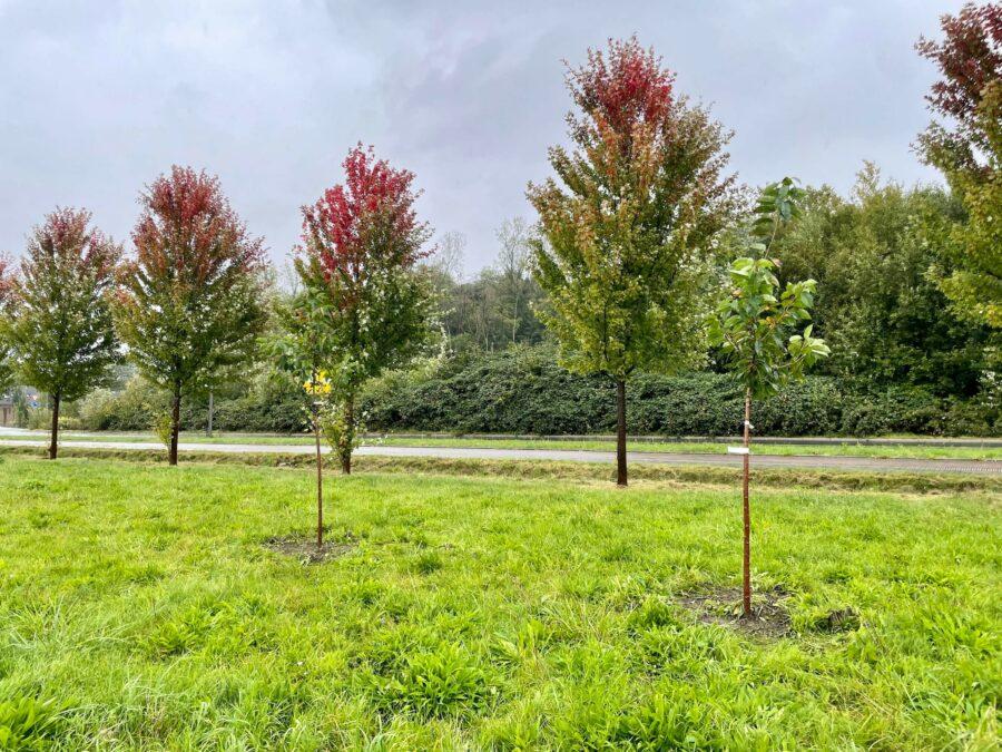 Einheitsbuddeln 2021: Zwei der drei von uns gepflanzten Bäume